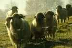 owca4